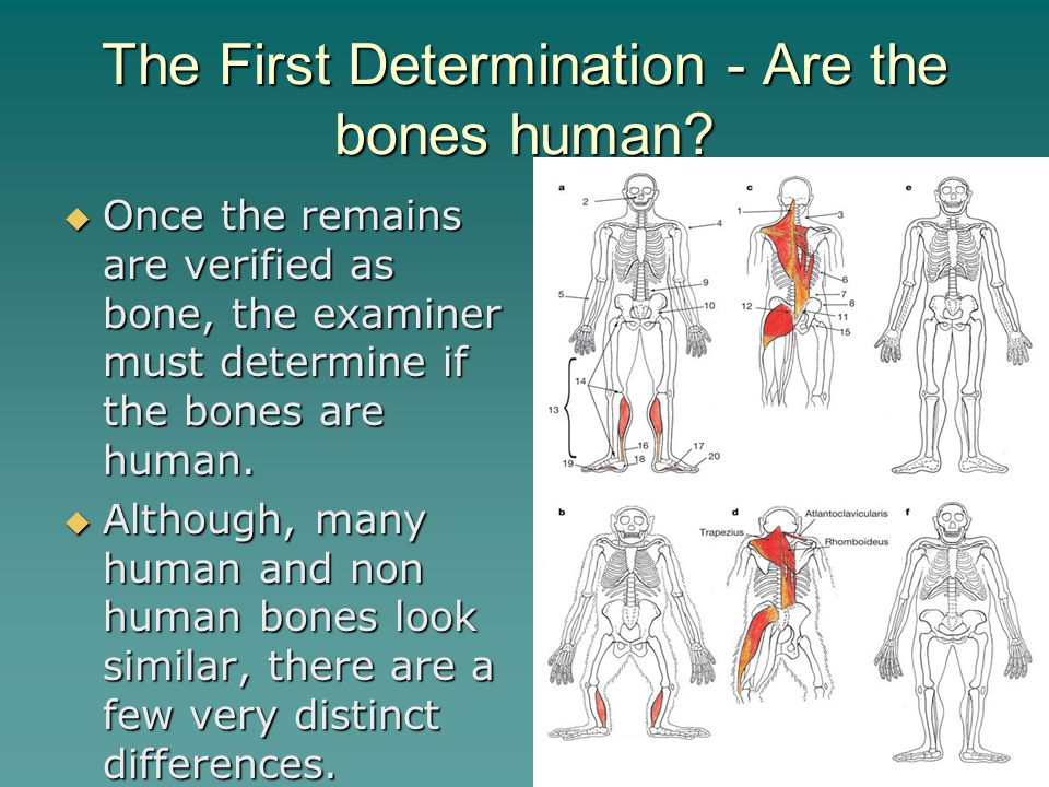 The First Determination - Are the bones human