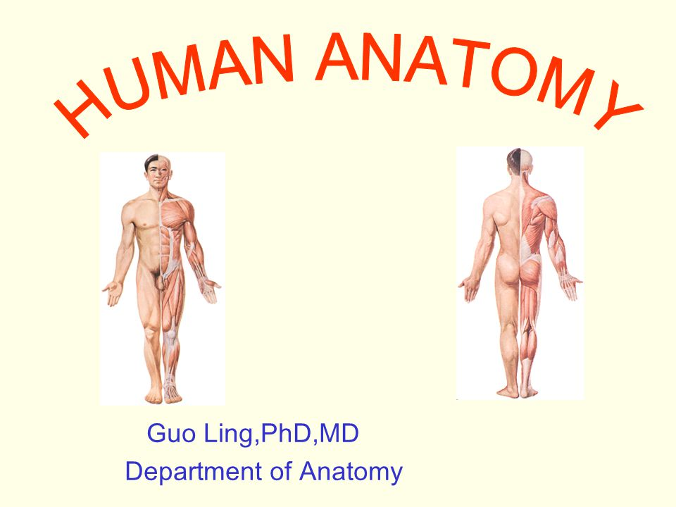 HUMAN ANATOMY Guo Ling,PhD,MD Department of Anatomy