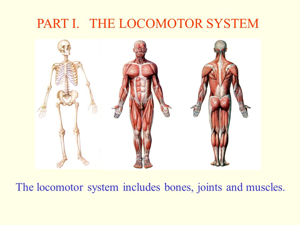 PART I. THE LOCOMOTOR SYSTEM
