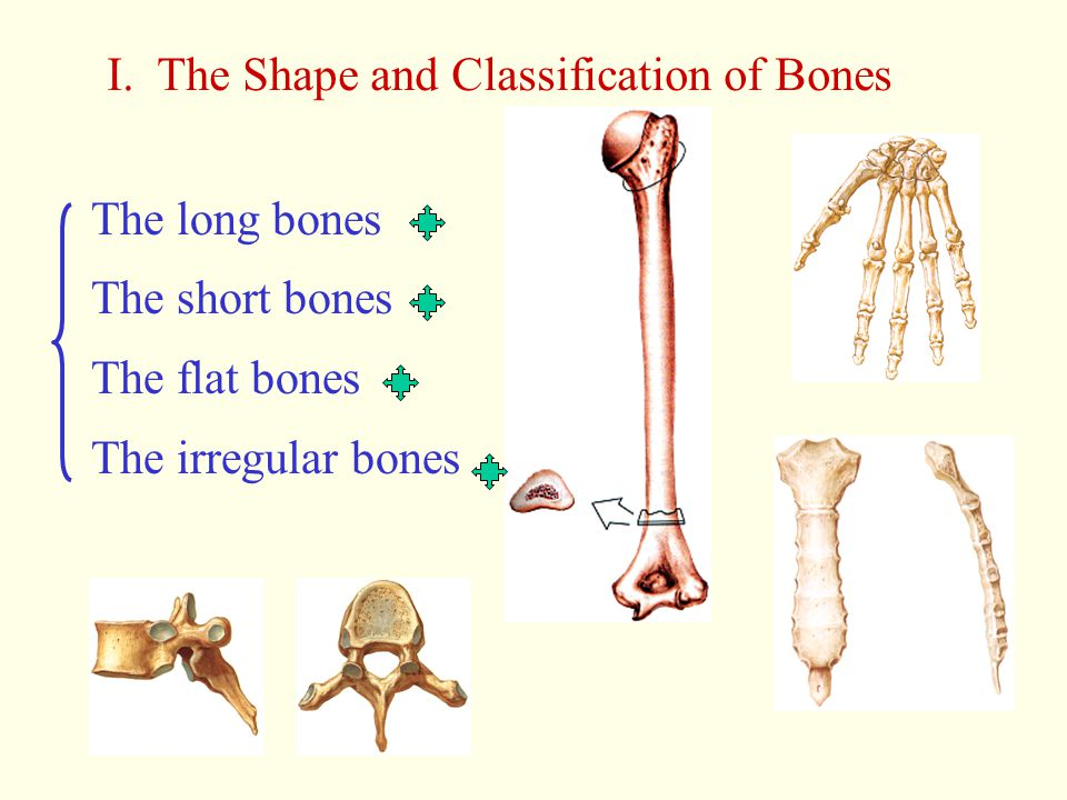 I. The Shape and Classification of Bones