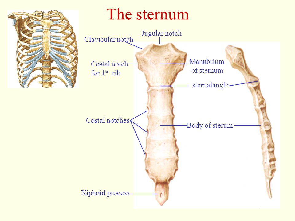 The sternum Jugular notch Clavicular notch Manubrium Costal notch