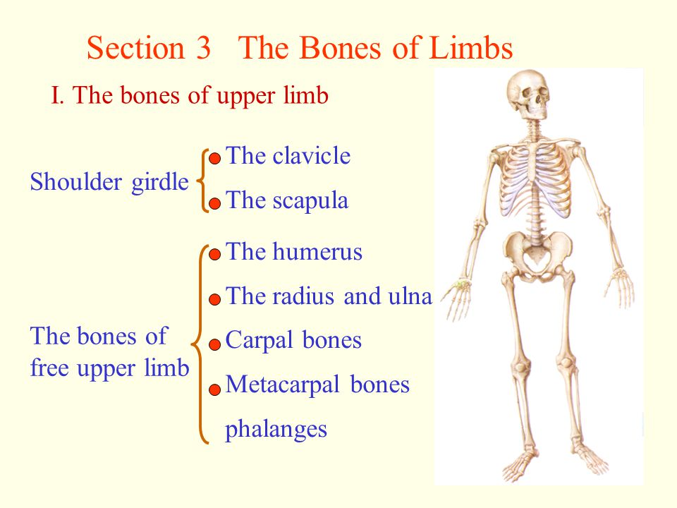 Section 3 The Bones of Limbs