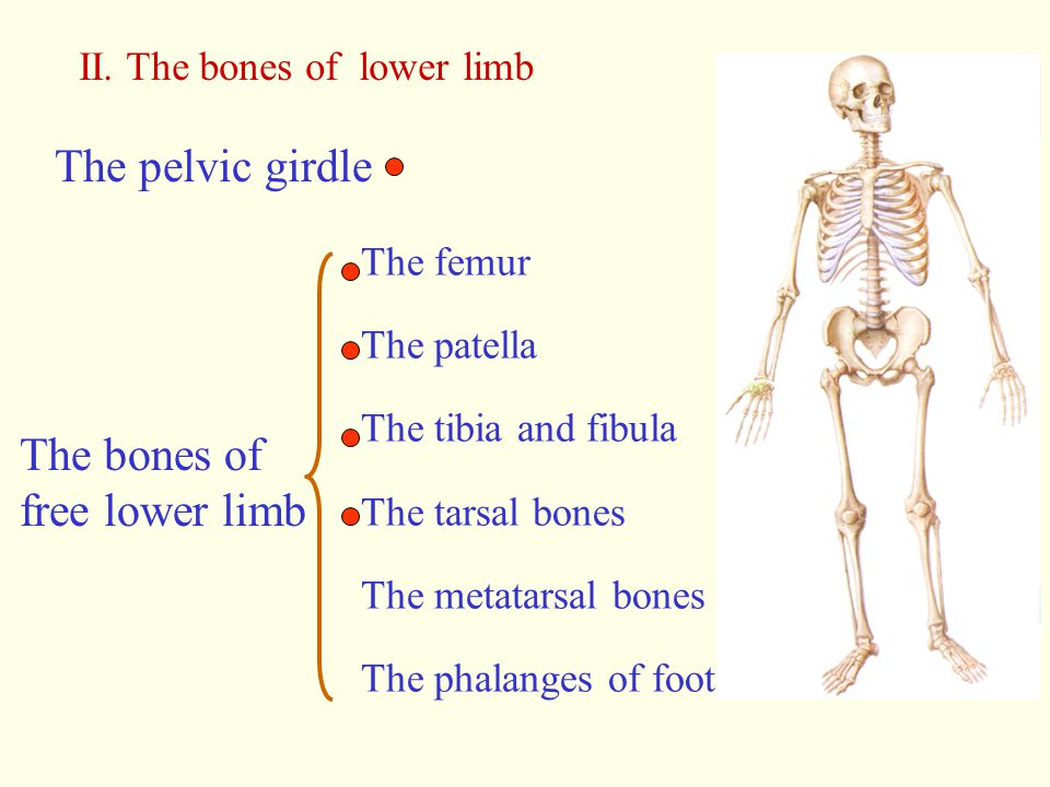 The pelvic girdle The bones of free lower limb