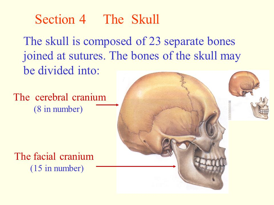 Section 4 The Skull The skull is composed of 23 separate bones joined at sutures. The bones of the skull may be divided into: