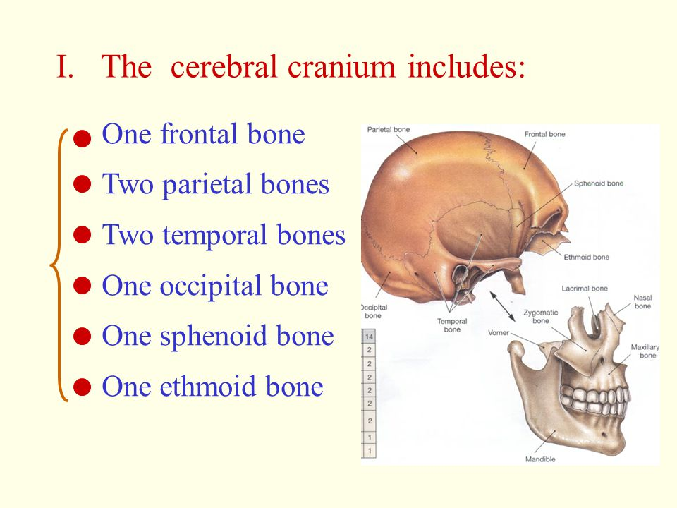 I. The cerebral cranium includes: