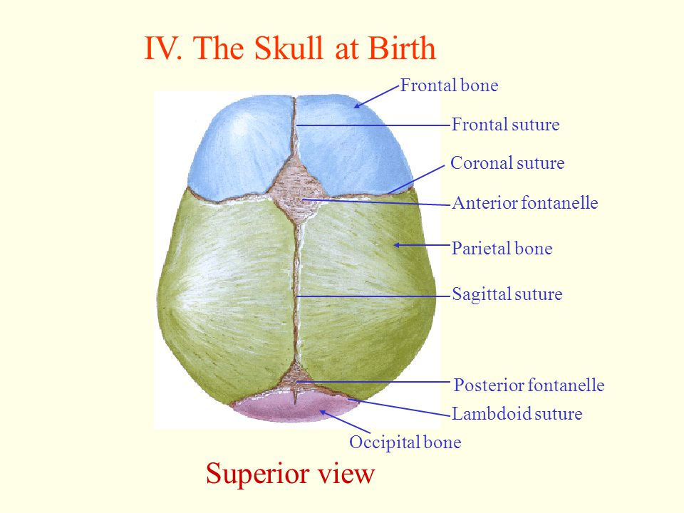 IV. The Skull at Birth Superior view Frontal bone Frontal suture