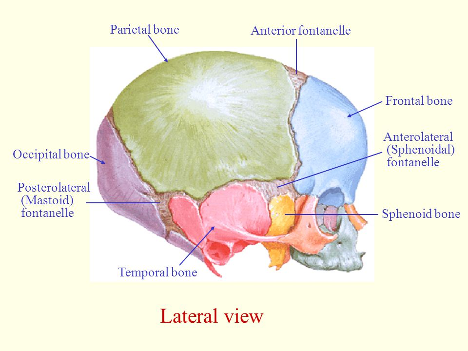 Lateral view Parietal bone Anterior fontanelle Frontal bone