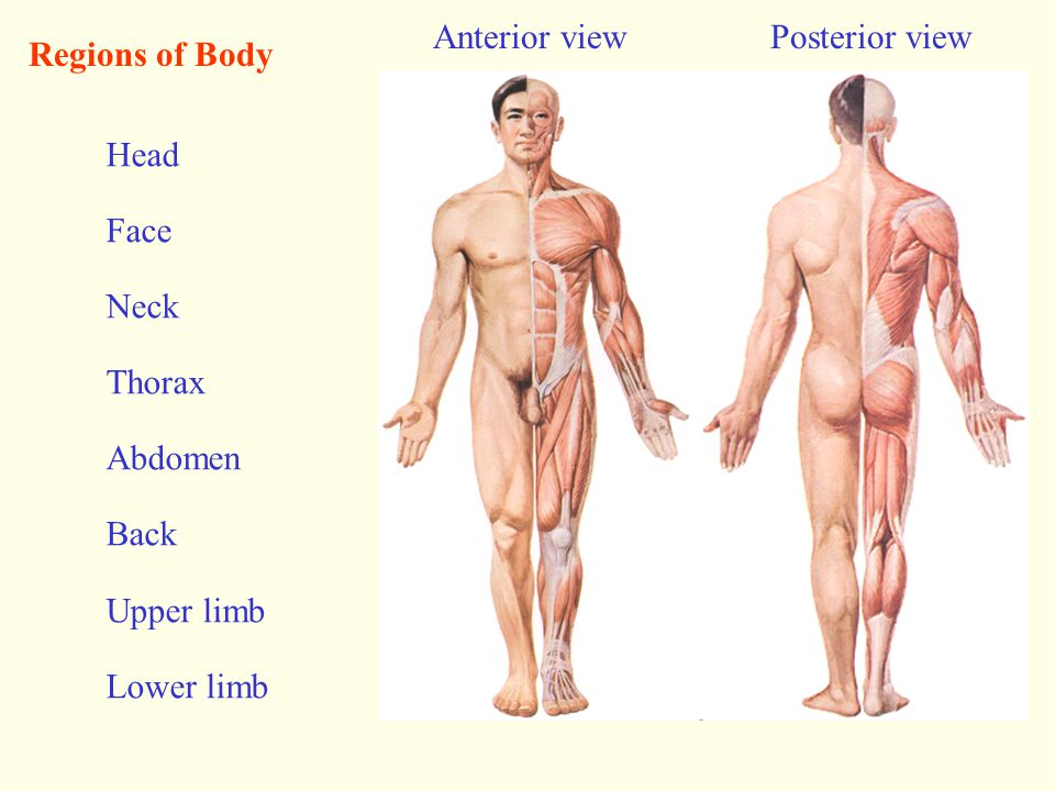 Anterior view Posterior view. Regions of Body. Head. Face. Neck. Thorax. Abdomen. Back. Upper limb.