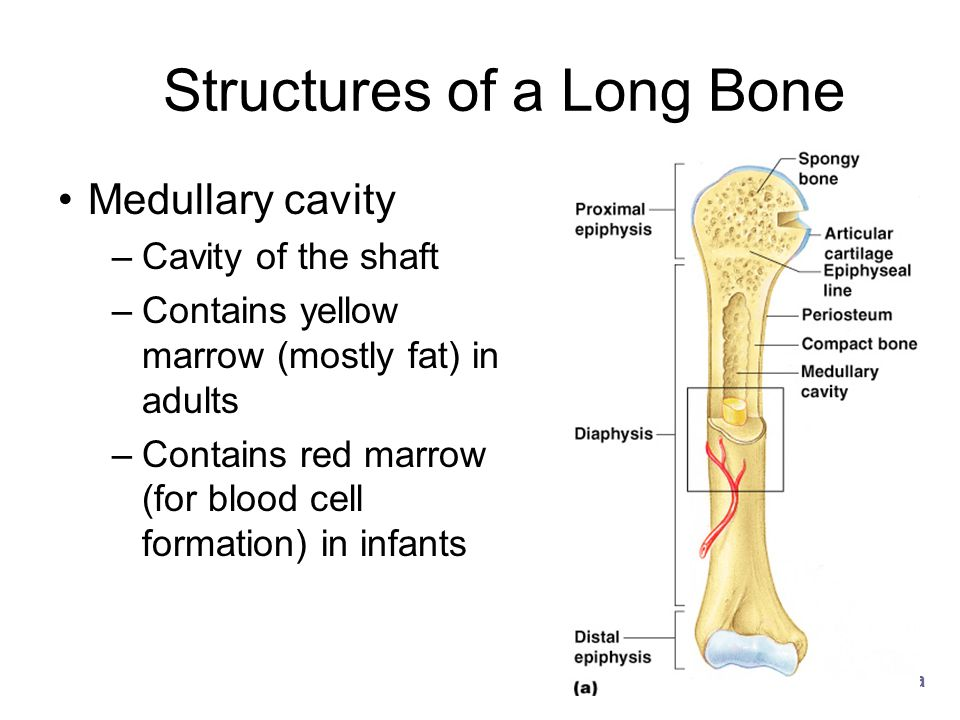 Structures of a Long Bone