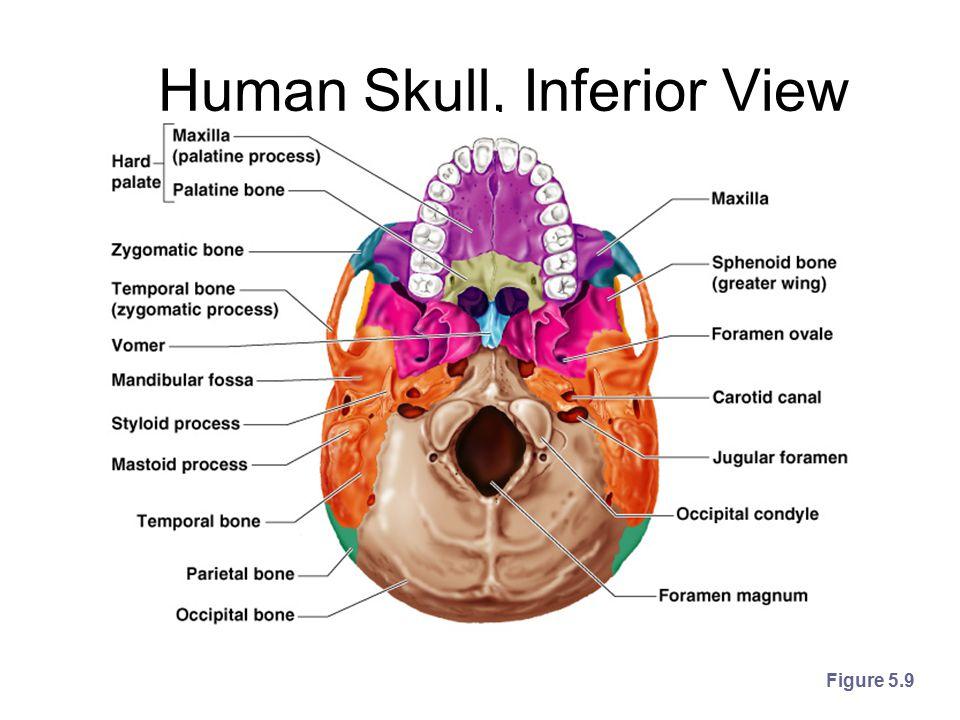 Human Skull, Inferior View