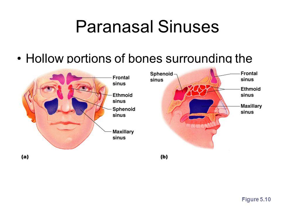 Paranasal Sinuses Hollow portions of bones surrounding the nasal cavity Figure 5.10