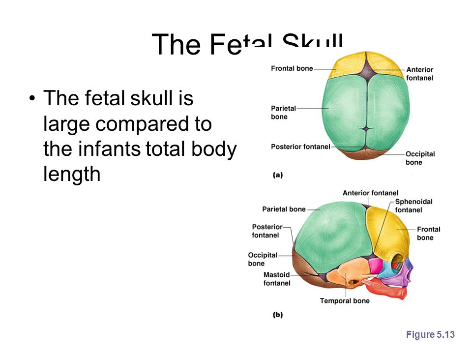 The Fetal Skull The fetal skull is large compared to the infants total body length Figure 5.13