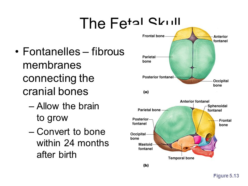 The Fetal Skull Fontanelles – fibrous membranes connecting the cranial bones. Allow the brain to grow.
