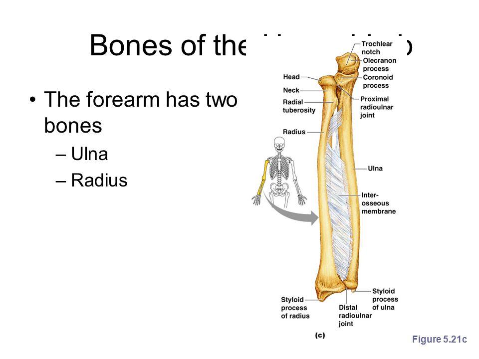 Bones of the Upper Limb The forearm has two bones Ulna Radius