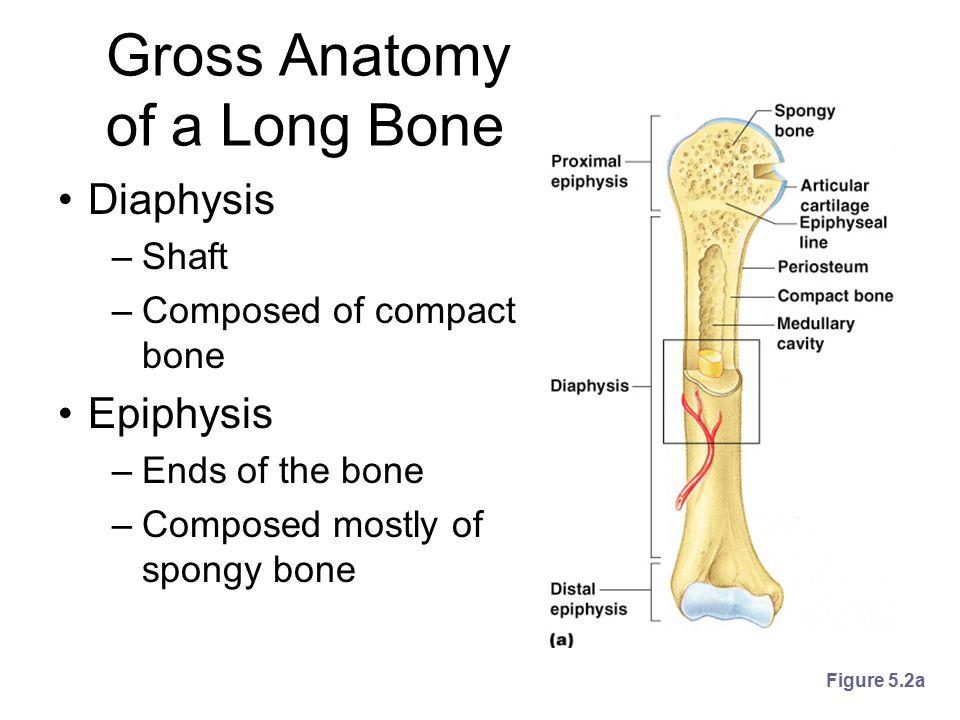 Gross Anatomy of a Long Bone