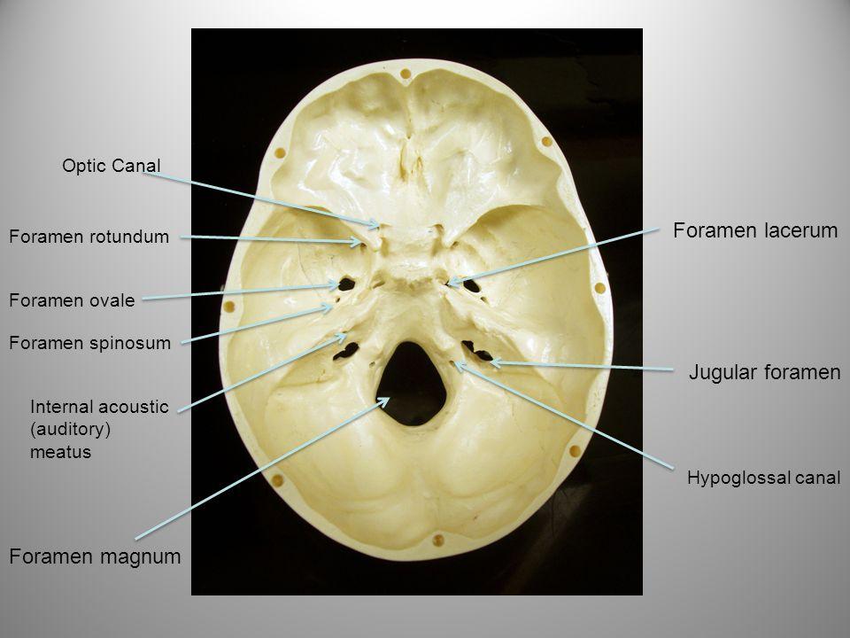 Foramen lacerum Jugular foramen Foramen magnum Optic Canal