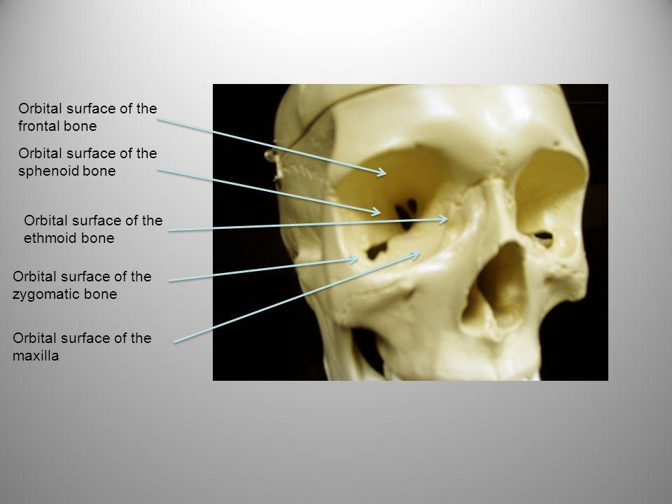 Orbital surface of the frontal bone