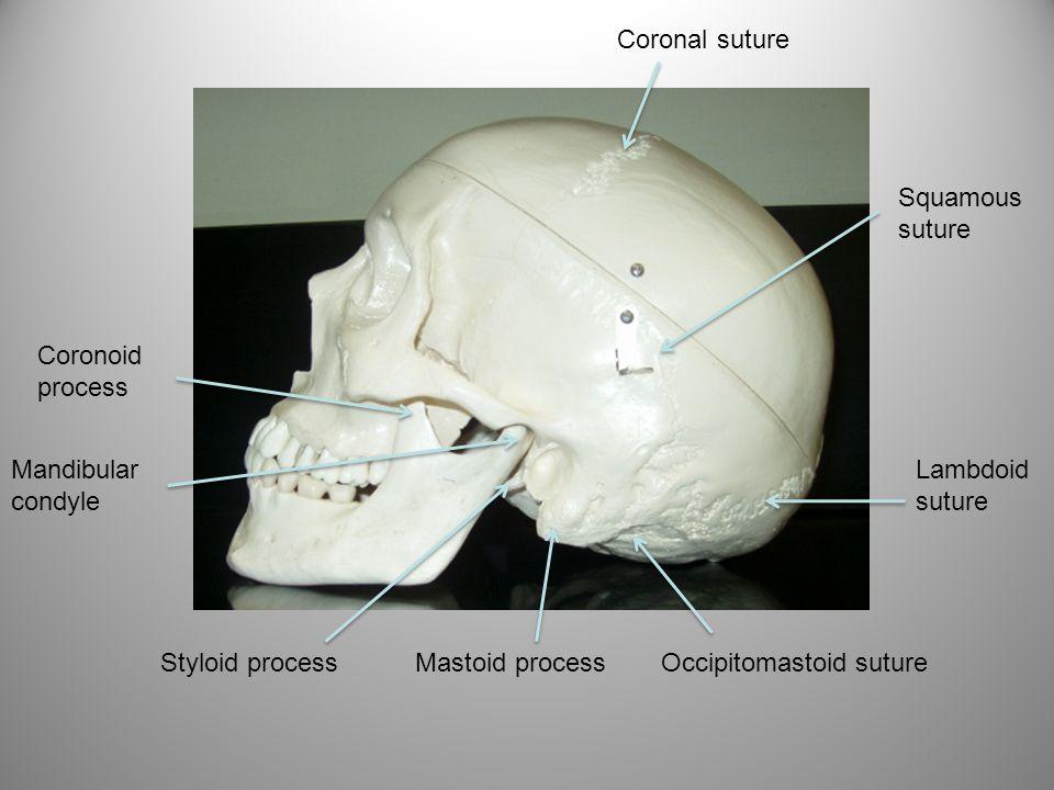 Coronal suture Squamous suture. Coronoid process. Mandibular condyle. Lambdoid suture. Styloid process.