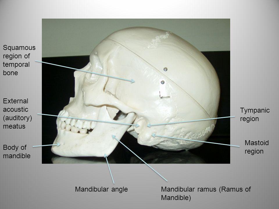 Squamous region of temporal bone