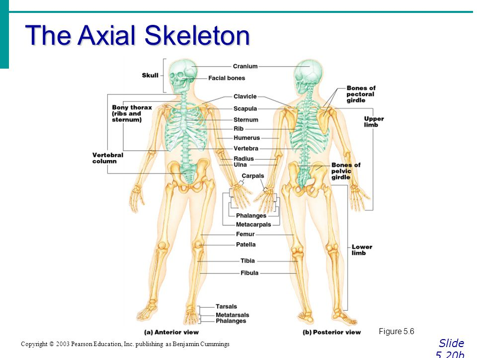 The Axial Skeleton Slide 5.20b Figure 5.6