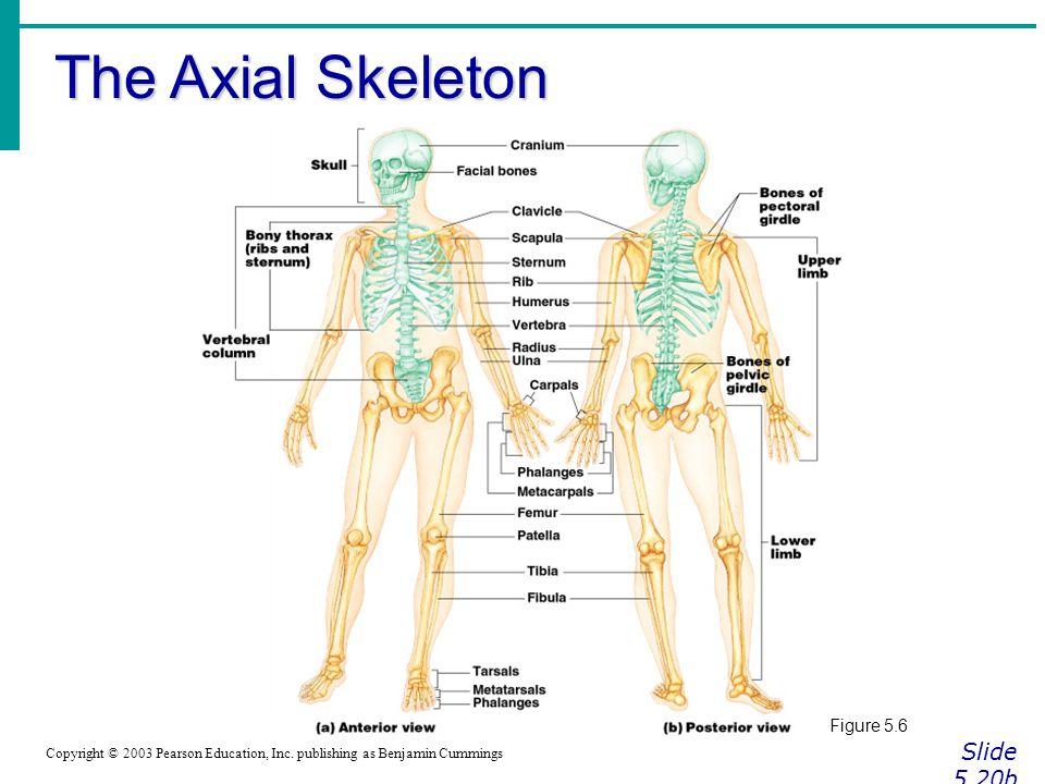 The Axial Skeleton Slide 5.20b Figure 5.6