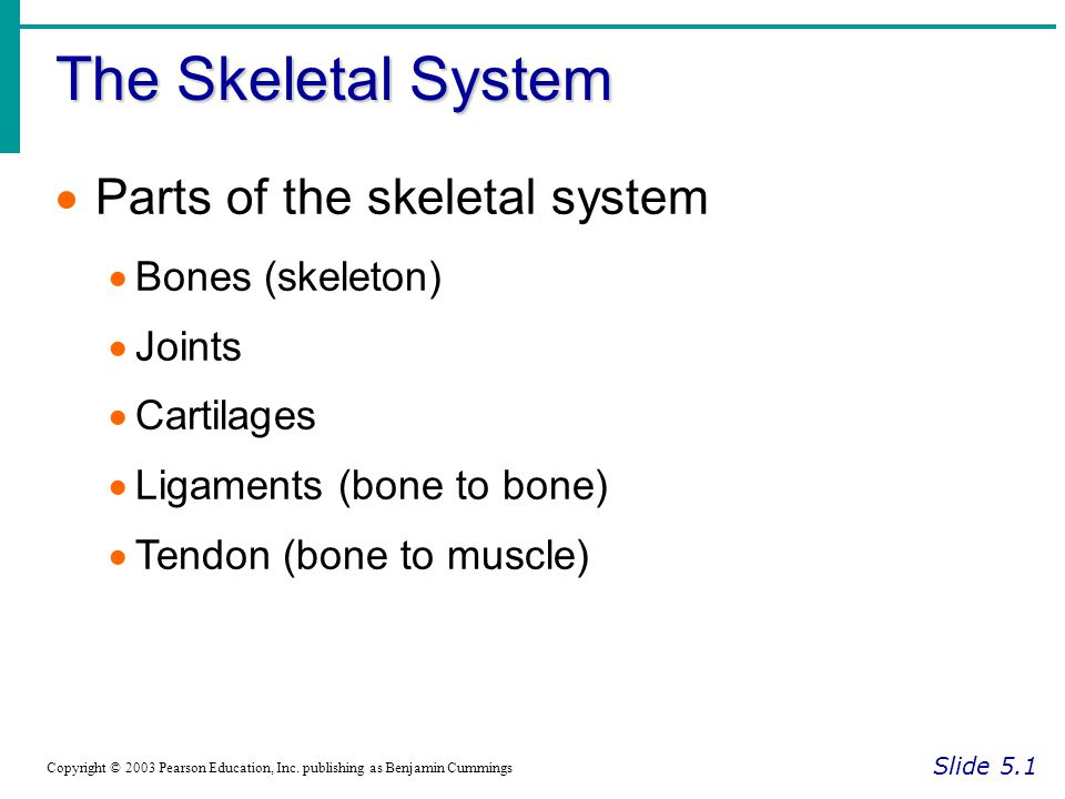 The Skeletal System Parts of the skeletal system Bones (skeleton)
