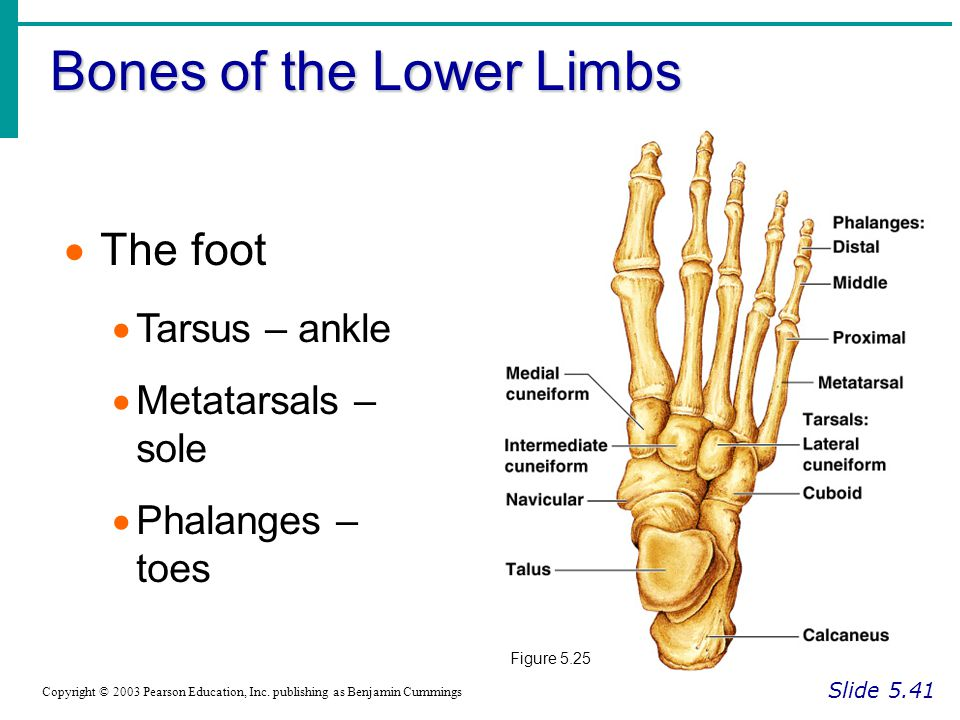 Bones of the Lower Limbs