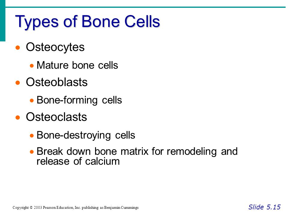 Types of Bone Cells Osteocytes Osteoblasts Osteoclasts