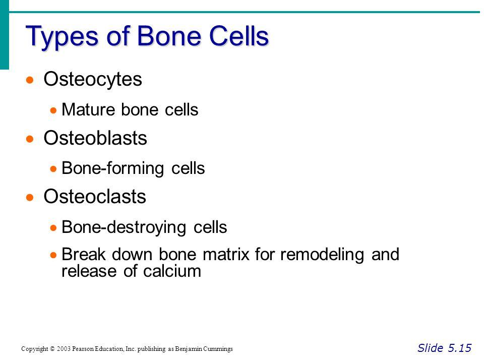 Types of Bone Cells Osteocytes Osteoblasts Osteoclasts