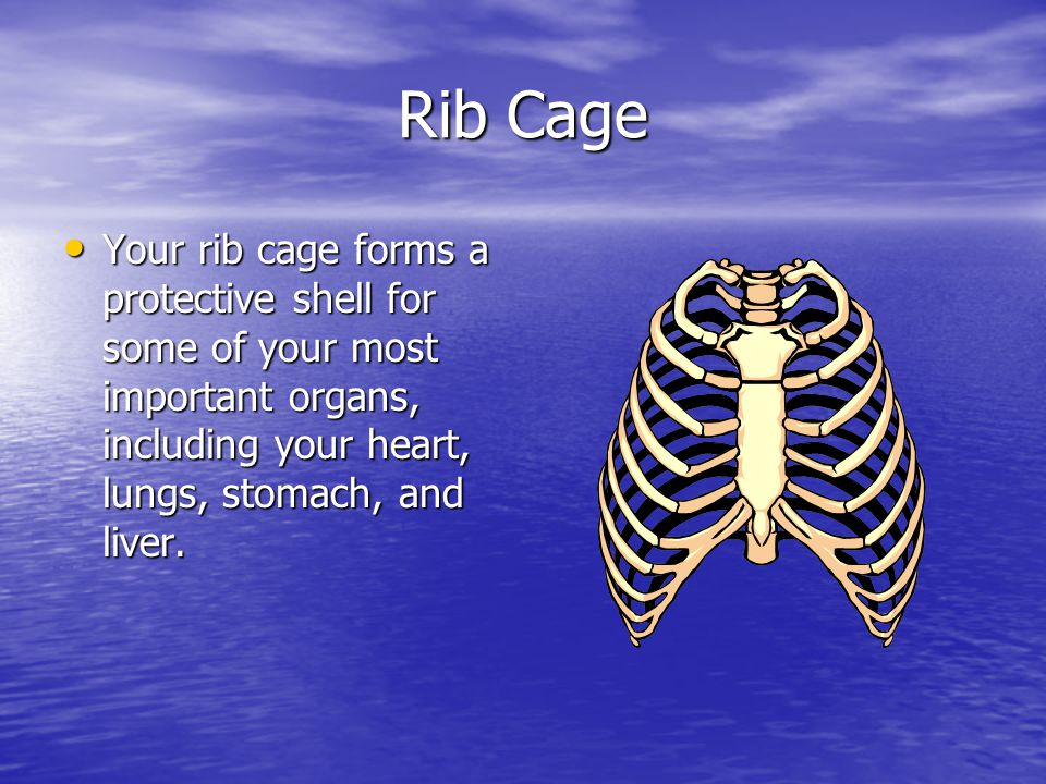 Rib Cage Your rib cage forms a protective shell for some of your most important organs, including your heart, lungs, stomach, and liver.