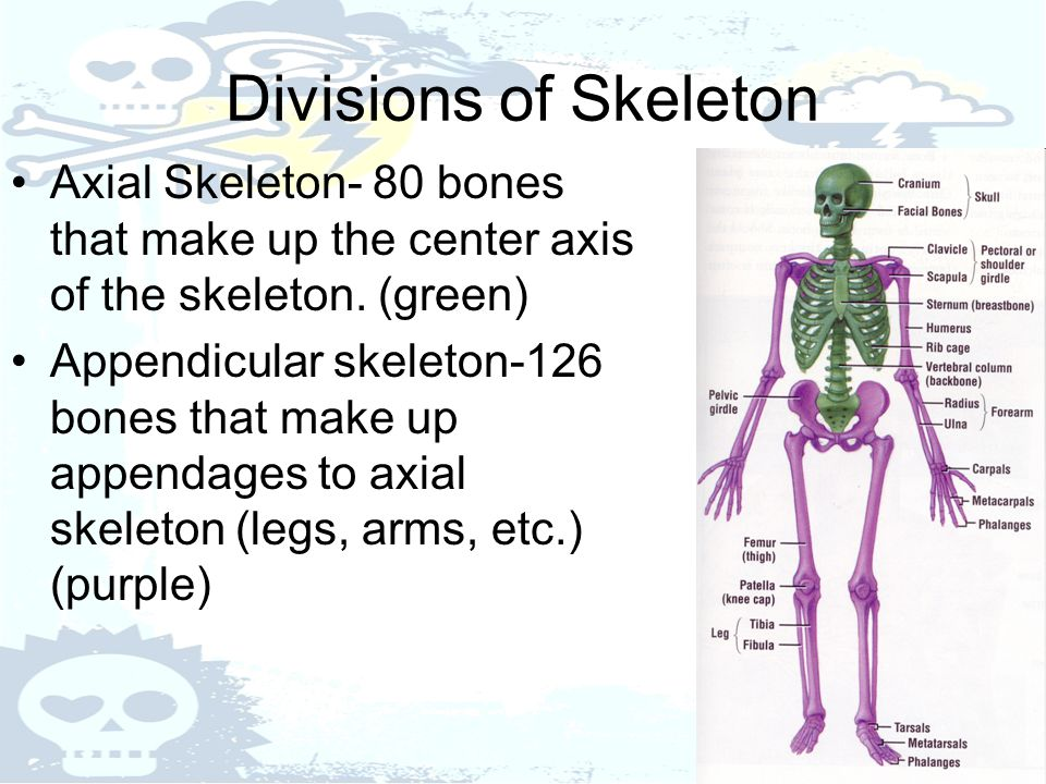 Divisions of Skeleton Axial Skeleton- 80 bones that make up the center axis of the skeleton. (green)