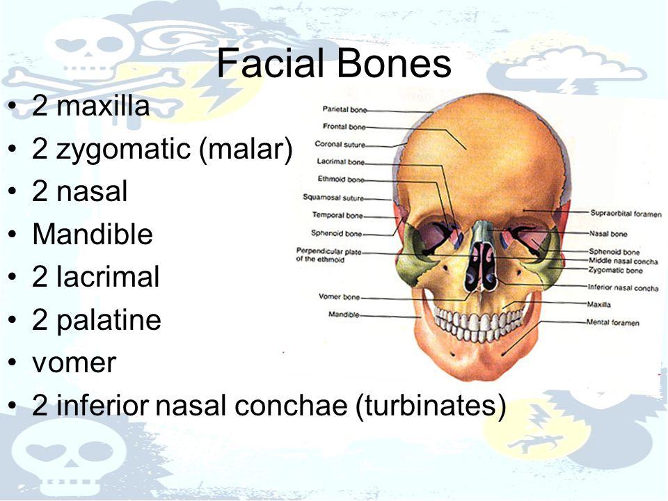 Facial Bones 2 maxilla 2 zygomatic (malar) 2 nasal Mandible 2 lacrimal