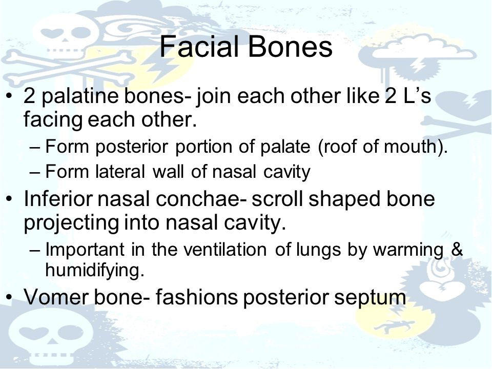 Facial Bones 2 palatine bones- join each other like 2 L's facing each other. Form posterior portion of palate (roof of mouth).