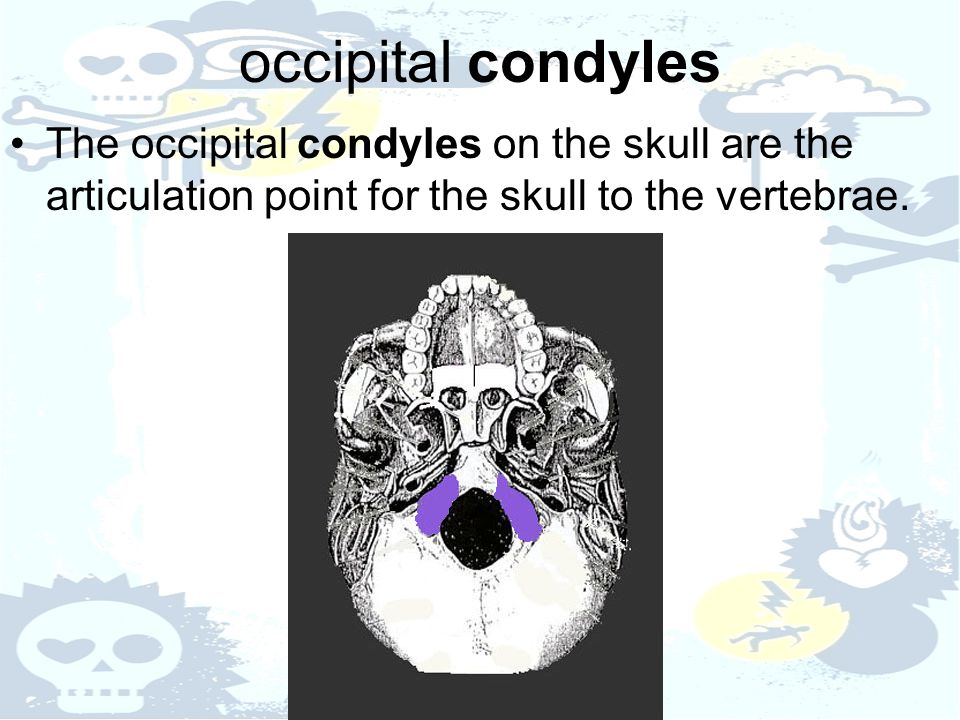 occipital condyles The occipital condyles on the skull are the articulation point for the skull to the vertebrae.
