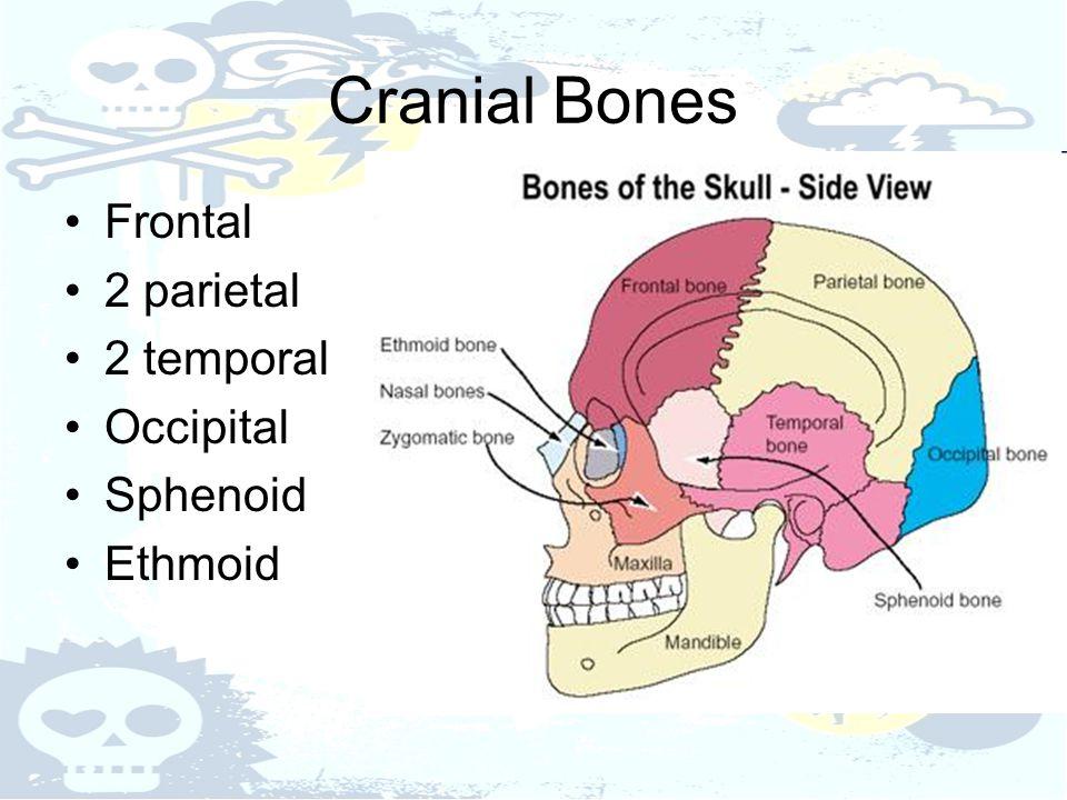 Cranial Bones Frontal 2 parietal 2 temporal Occipital Sphenoid Ethmoid