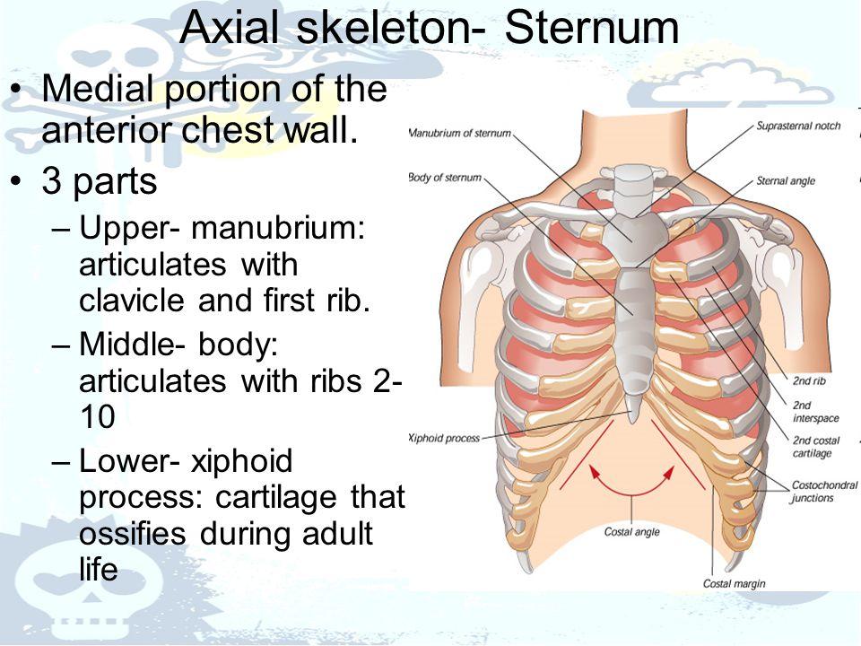 Axial skeleton- Sternum