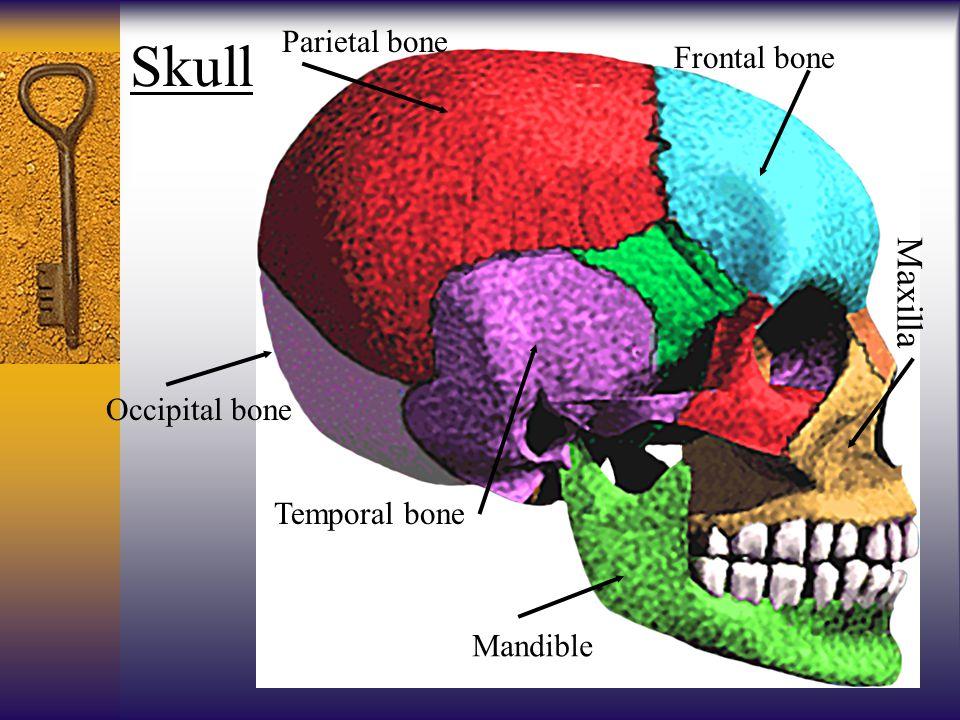 Skull Maxilla Parietal bone Frontal bone Occipital bone Temporal bone
