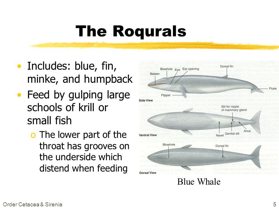 The Roqurals Includes: blue, fin, minke, and humpback