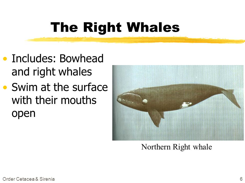 The Right Whales Includes: Bowhead and right whales