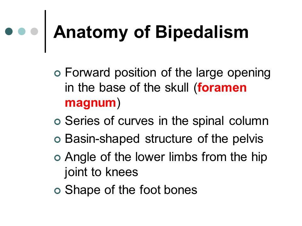 Anatomy of Bipedalism Forward position of the large opening in the base of the skull (foramen magnum)