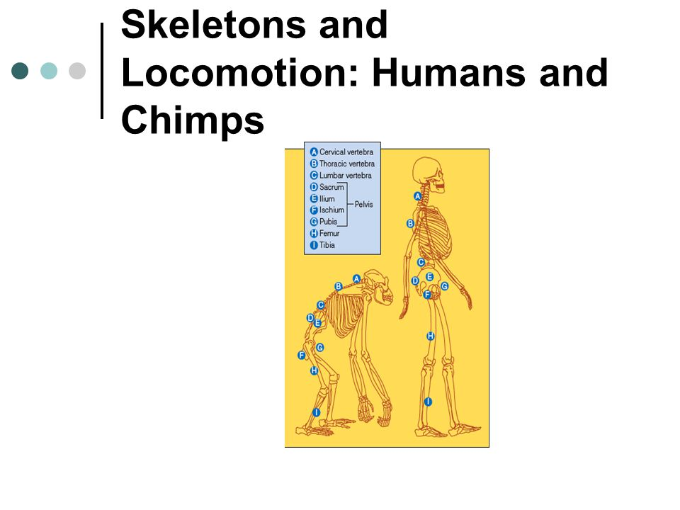 Skeletons and Locomotion: Humans and Chimps