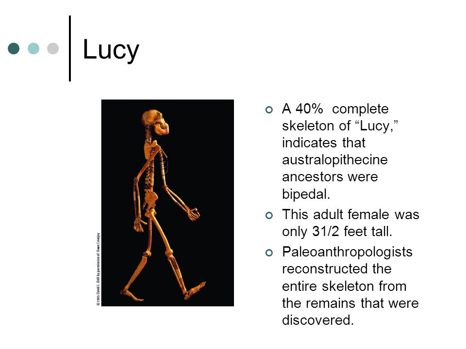 Lucy A 40% complete skeleton of Lucy, indicates that australopithecine ancestors were bipedal. This adult female was only 31/2 feet tall.