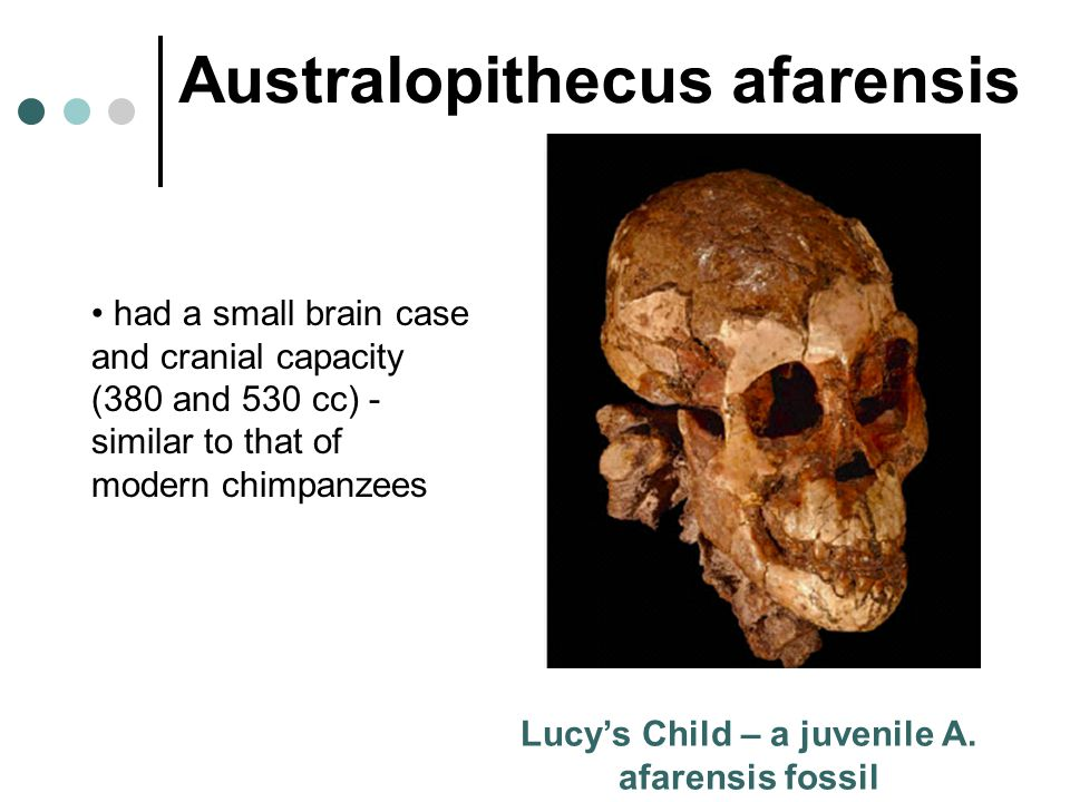Lucy's Child – a juvenile A. afarensis fossil