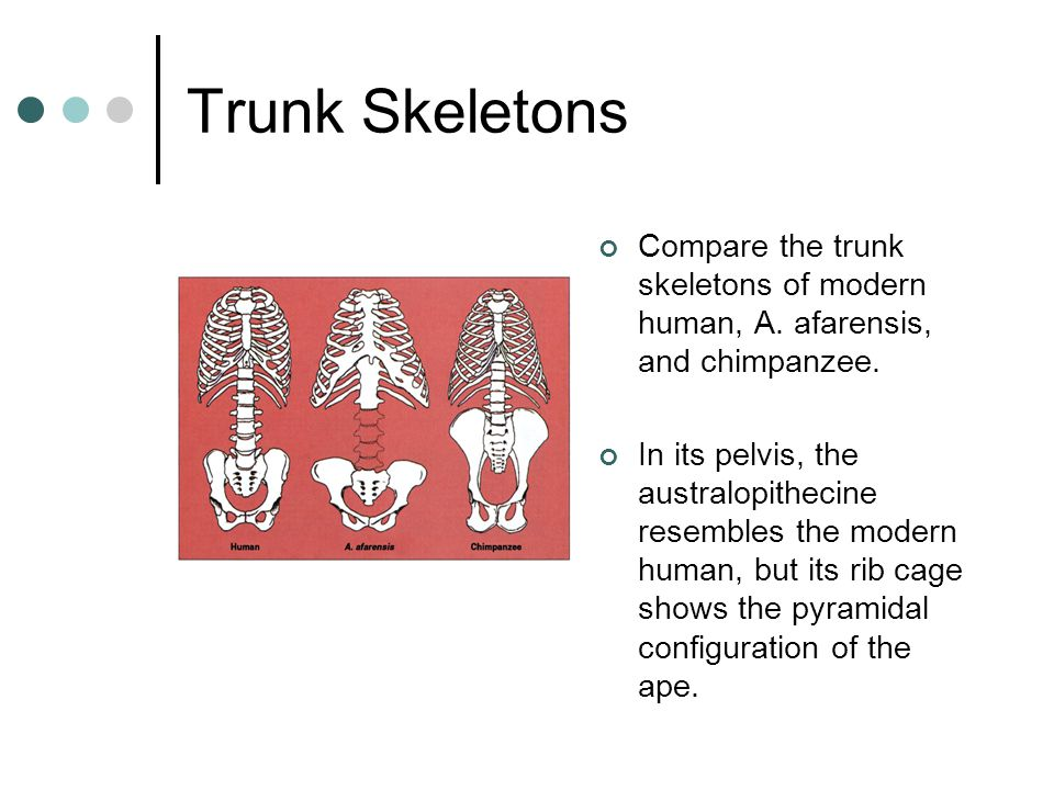 Trunk Skeletons Compare the trunk skeletons of modern human, A. afarensis, and chimpanzee.