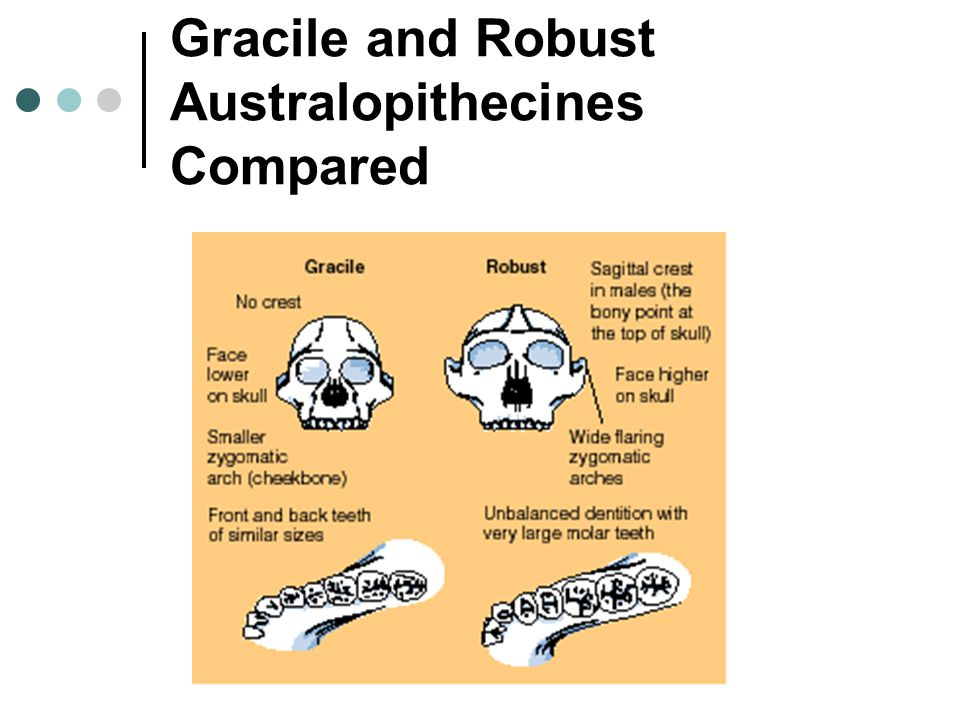 Gracile and Robust Australopithecines Compared
