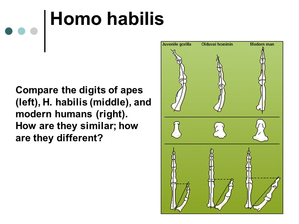 Homo habilis Compare the digits of apes (left), H.