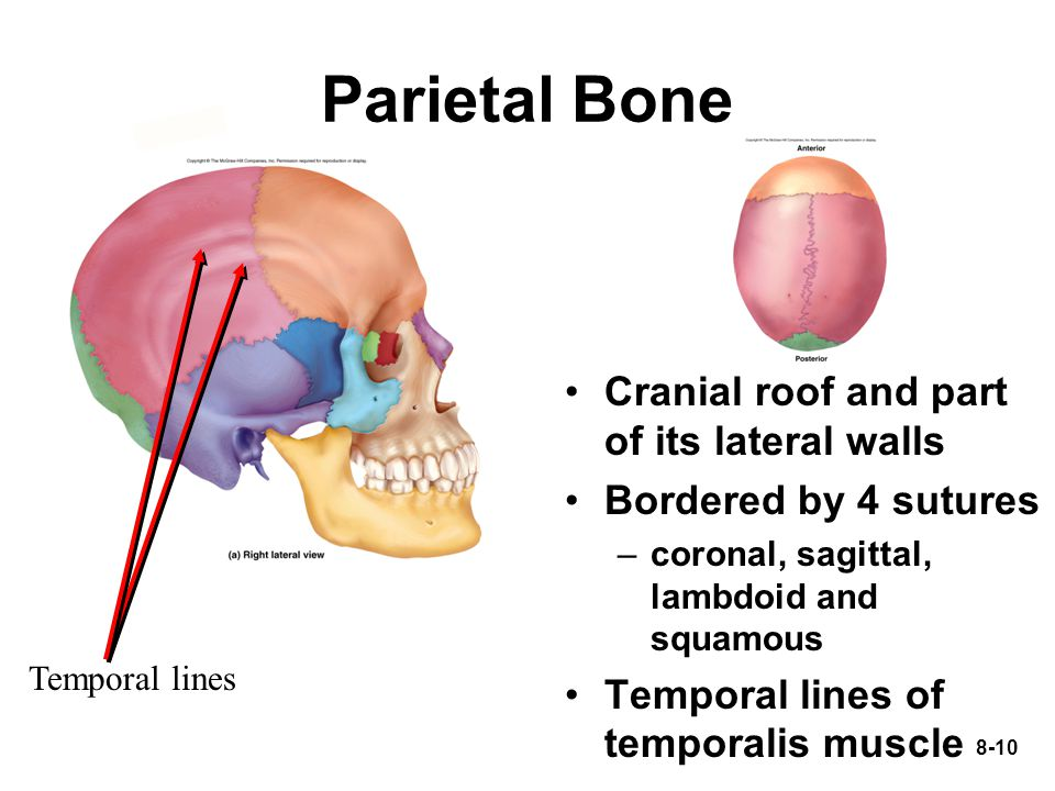 Parietal Bone Cranial roof and part of its lateral walls