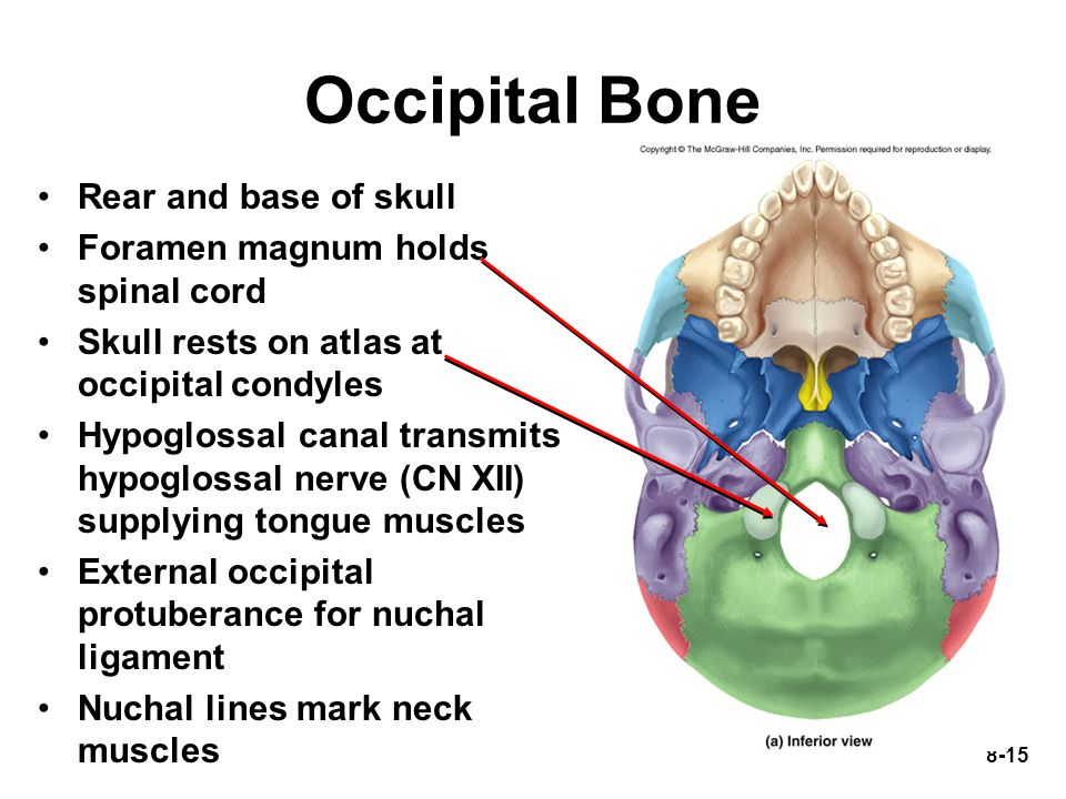 Occipital Bone Rear and base of skull Foramen magnum holds spinal cord