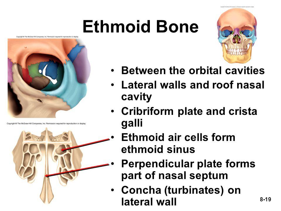 Ethmoid Bone Between the orbital cavities