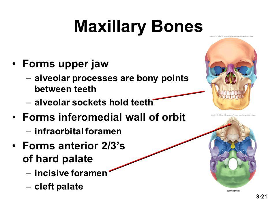 Maxillary Bones Forms upper jaw Forms inferomedial wall of orbit